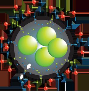 Białko CXCL12 chroni przeszczep
